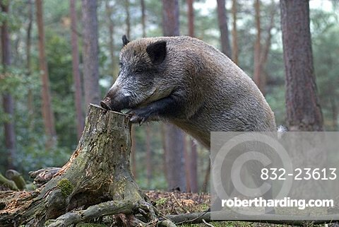 Wild Boar (Sus scrofa) leaning into tree stump in search of food, Daun Zoo, Vulkaneifel, Germany, Europe