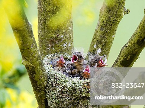 Chaffinch young (Fringilla coelebs) calling from their nest, Gillenfeld, Vulkaneifel, Germany, Europe
