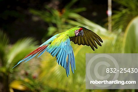 Military Macaw (Ara militaris), adult in flight, Roatan, Honduras, Central America