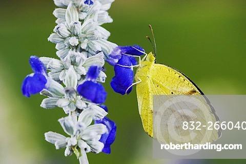 Sleepy Orange (Eurema nicippe), adult on Mealy sage (Salvia farinacea), Uvalde County, Hill Country, Central Texas, USA
