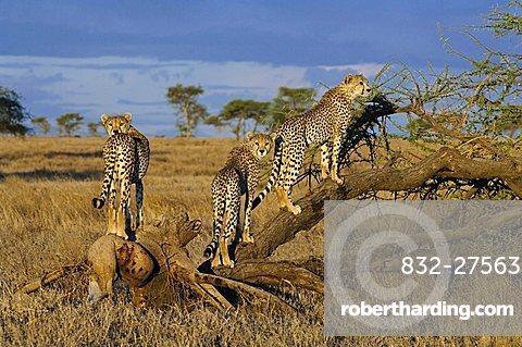 Cheetah (Acinonyx jubatus) looking for prey from an acacia, Ndutu, Ngorongoro, Tanzania, Africa