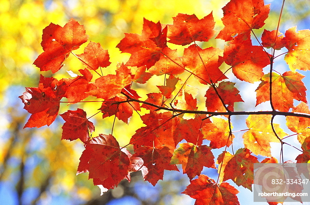 Sugar Maple leaves (Acer saccharum), autumn colours in Eastern Canada during Indian summer, La Mauricie National Park, Quebec, Canada