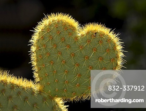 Cactus (Opuntia) in shape of a heart symbolising difficult love