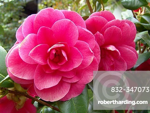 Red, pink bloom of a camellia.