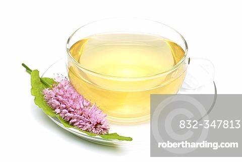 Herb tea made of bistort, snake root, Polygonum bistorta