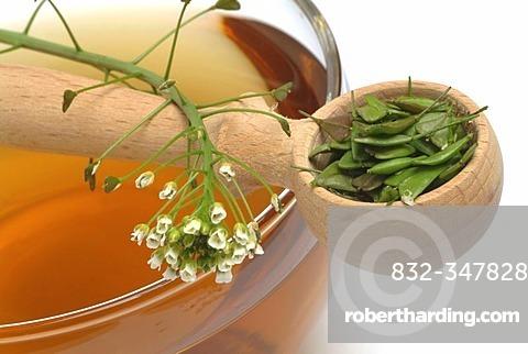 Herb tea made of Capsella bursa pastoris, shepherd's purse