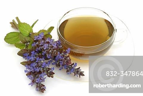 Herb tea made of Bugle, Bugletea, Ajuga reptans,