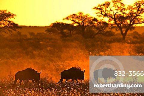 Herd of Wildebeests (Connochaetes) at sunset, Kalahari Desert, South Africa, Africa