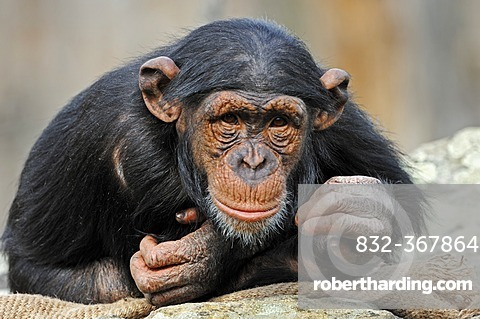 Chimpanzee (Pan troglodytes), chimp, juvenile, African species, captive, Germany, Europe