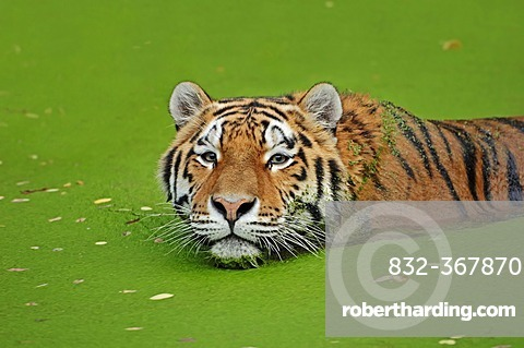 Siberian tiger or Amur tiger (Panthera tigris altaica), in the water, Asian species, captive, The Netherlands, Europe