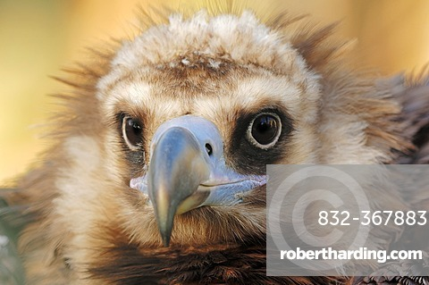 Cinereous vulture (Aegypius monachus), portrait, native to southern Europe and Central Asia, captive, North Rhine-Westphalia, Germany, Europe