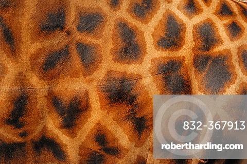 Rothschild giraffe (Giraffa camelopardalis rothschildi), detailed view of fur, found in Africa, captive, France, Europe