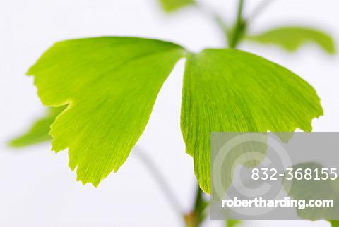Ginkgo (Ginkgo biloba), leaves