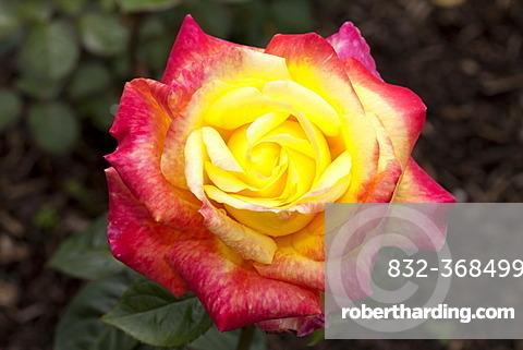 Hybrid Tea Rose, Orient Express (Rosa), Westphalia Park, Dortmund, Ruhr Area, North Rhine-Westphalia, Germany, Europe