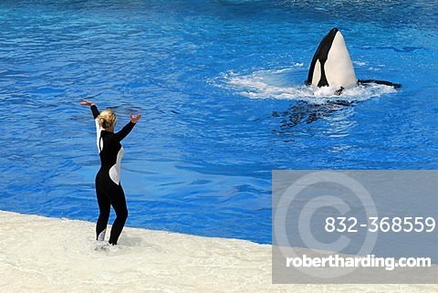 Trained killer whale, orca (Orcinus orca), Shamu Stadium, SeaWorld, San Diego, California, USA, North America