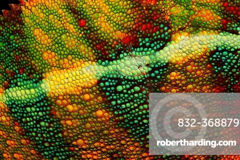 Chameleon skin, Panther Chameleon (Furcifer pardalis), Ambilobe region, Ambilobe-Ambilorama colour variation, Madagascar, Africa, Indian Ocean