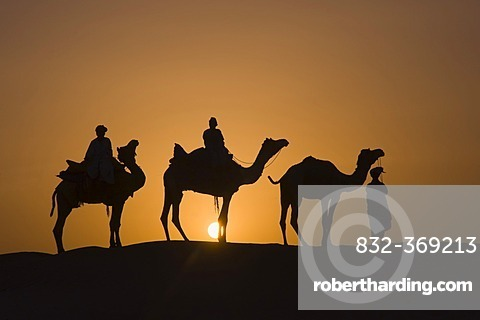 Camels at sunset in the Thar desert, Rajasthan, India, South Asia