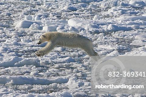 Female Polar bear (Ursus maritimus) on pack ice, Svalbard Archipelago, Barents Sea, Norway