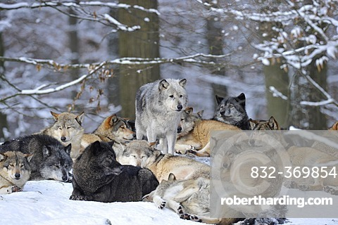 Mackenzie valley wolves, Canadian timber wolves (Canis lupus occidentalis), female leader of the pack among the wolf pack in the snow