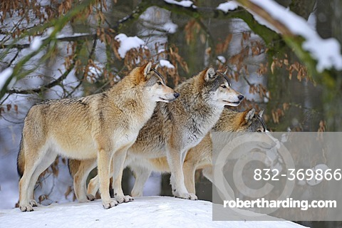 Mackenzie Wolves, Eastern wolf, Canadian wolf (Canis lupus occidentalis) in snow, on guard