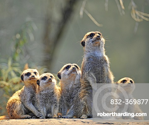 Meerkats (Suricata suricatta), family with young