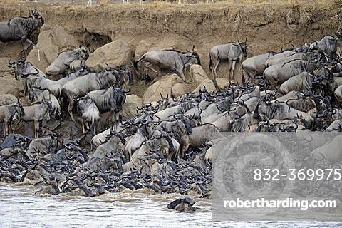 Wildebeest (Connochaetes taurinus), Gnu migration, jostling on the bank of the Mara River, Masai Mara, Kenya, East Africa, Africa