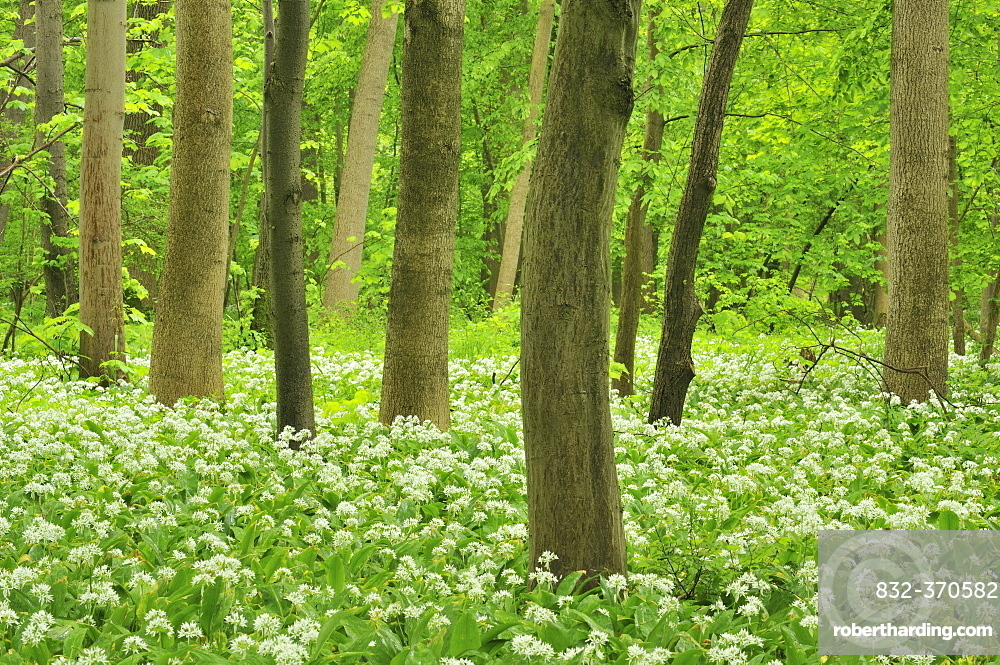 Forest floor covered with Ramsons or Wild Garlic (Allium ursinum), Leipzig floodplain forest, Saxony, Germany, Europe