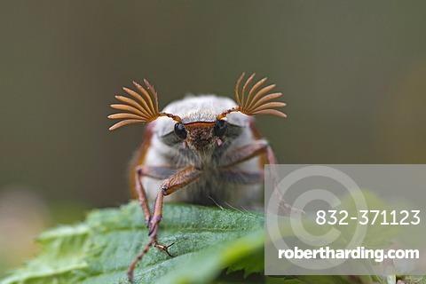 Cockchafer (Melolontha melolontha), Guxhagen, Hesse, Germany, Europe