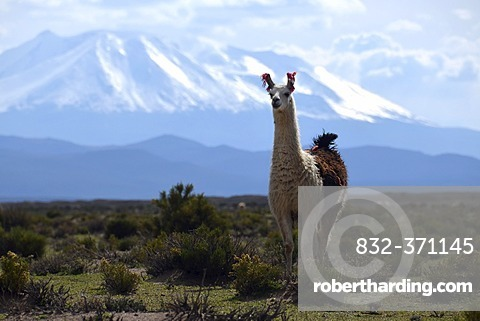 Llama or Lama (Lama glama) standing in front the snow-capped peaks of the high Andes, near Uyuni, Bolivian Altiplano, border triangle of Bolivia, Chile and Argentina, South America