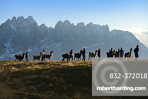 Llama tour at the summit of Ederplan Mountain in the Defregger Group, Carnic Dolomites, Upper Lienz, Puster Valley, East Tyrol, Austria, Europe