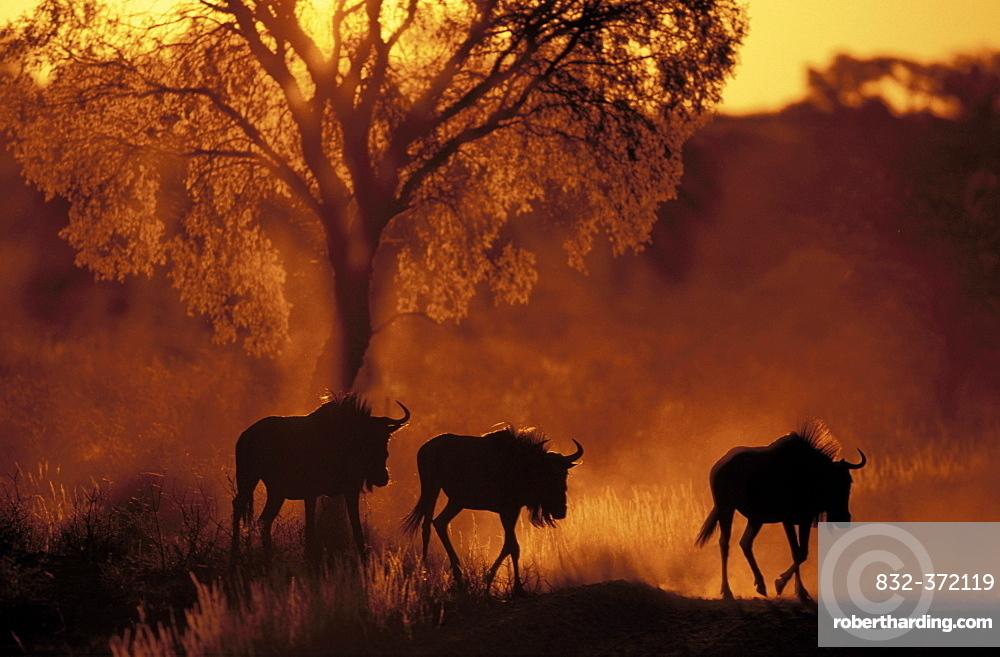 Blue wildebeest (Connochaetes taurinus), at sunset, Kgalagadi Transfrontier Park, Kalahari, Northern Cape, South Africa, Africa