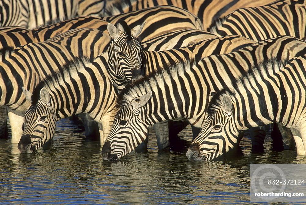 Burchell's Zebra (Equus burchelli), herd drinking at waterhole, Etosha National Park, South Africa