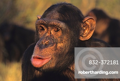 Chimpanzee (Pan troglodytes), hooting, Chimfunshi Wildlife Orphanage, Zambia, Africa