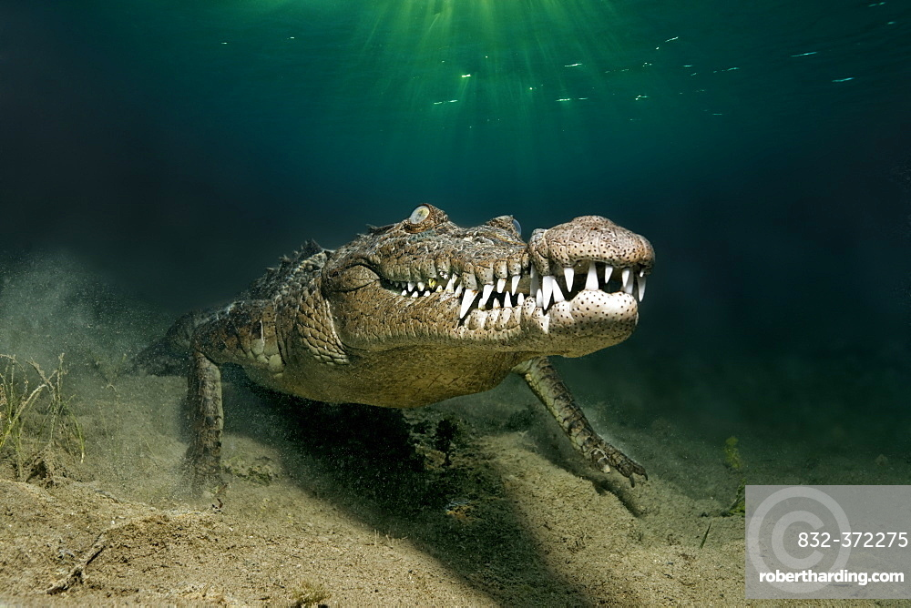 American crocodile (Crocodylus acutus), underwater, head-on, underwater on sandy bottom, Head, mouth, set of teeth, Republic of Cuba, Caribbean Sea, Central America