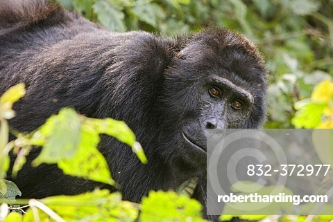Habituated group of mountain gorillas (Gorilla beringei beringei), Bwindi Impenetrable Forest National Park, being studied by scientists from the Max Planck Institute for Evolutionary Anthropology Leipzig, image showing