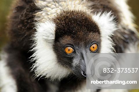 Portrait, Black-and-white Ruffed Lemur (Varecia variegata), Madagascar, Africa