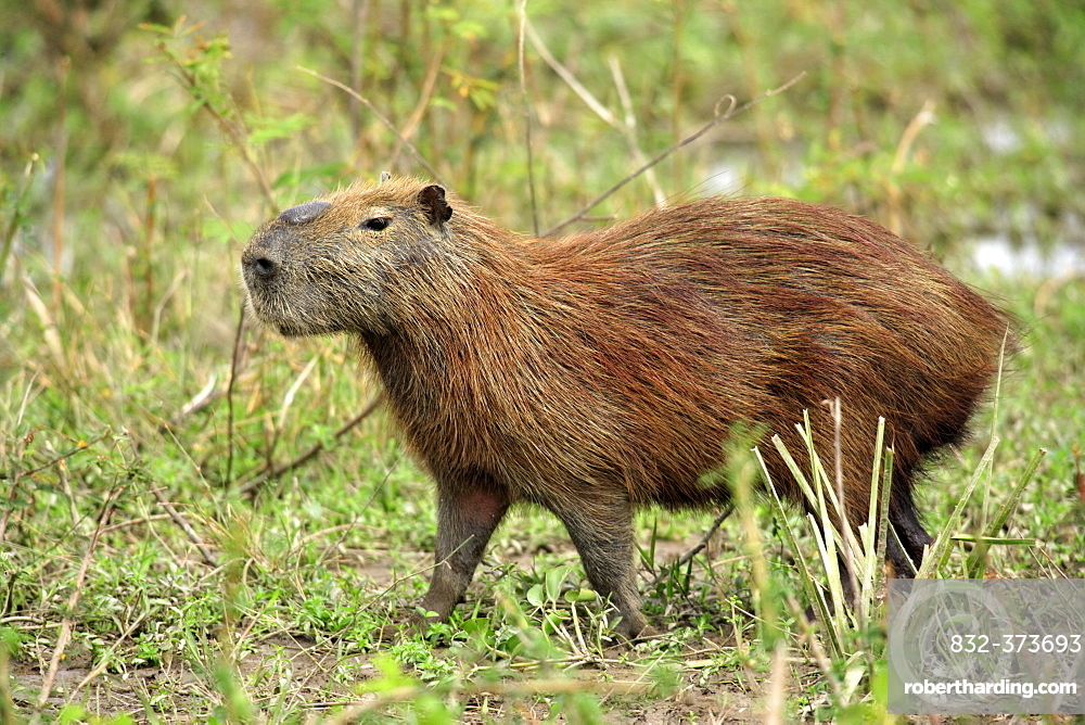 Capybara (Hydrochoerus hydrochaeris), adult, Pantanal wetland, Brazil, South America