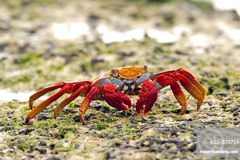 Sally Lightfoot Crab (Grapsus grapsus), adult foraging, Galapagos Islands, Pacific Ocean