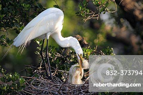 Great Egret (Egretta alba), adult bird feeding young in the nest, Florida, USA, America