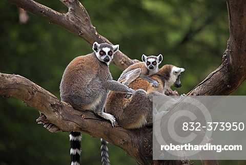 Ring-tailed Lemurs (Lemur catta) with an infant in a tree, Madagascar, Africa