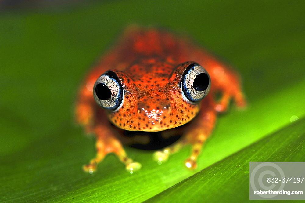 Madagascar frog species (Boophis pyrrhus), rain forests of Andasibe, Madagascar, Africa, Indian Ocean