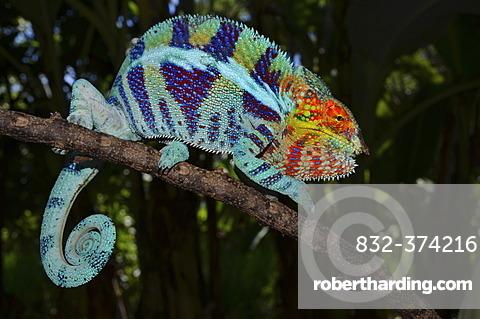 Panther Chameleon (Furcifer pardalis) in the cocoa plantations of Ambanja in northwestern Madagascar, Africa