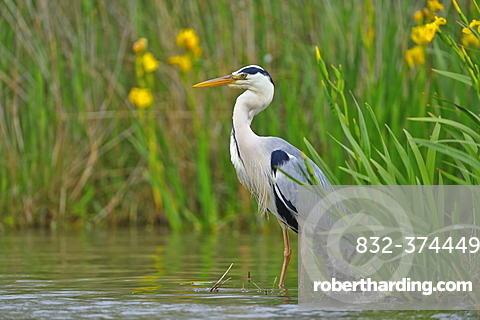 Grey Heron (Ardea cinerea), Camargue, France, Europe