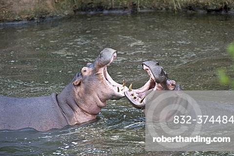 Hippopotamus (Hippopotamus amphibius), measuing their strength in a threat display, Orangi River, Serengeti, Tanzania, Africa