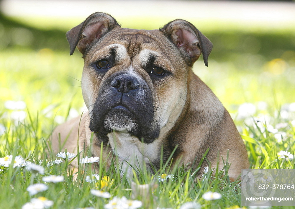 Continental Bulldog, bitch, 6 months, lies in a meadow with daisies, North Rhine-Westphalia, Germany, Europe
