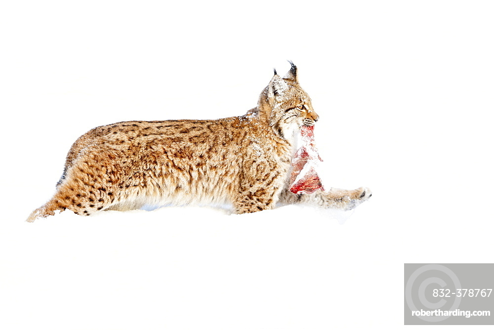 Eurasian Lynx (Lynx lynx) with prey, running in the snow, Bavaria, Germany, Europe