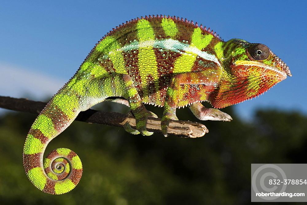 Panther chameleon (Furcifer Pardalis), male on branch, Ambilobe, Diana, Madagascar, Africa