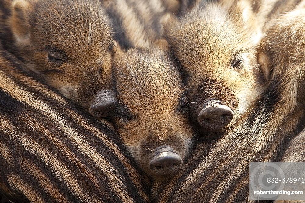 Wild boars (Sus scrofa), shoats lying close together, North Rhine-Westphalia, Germany, Europe
