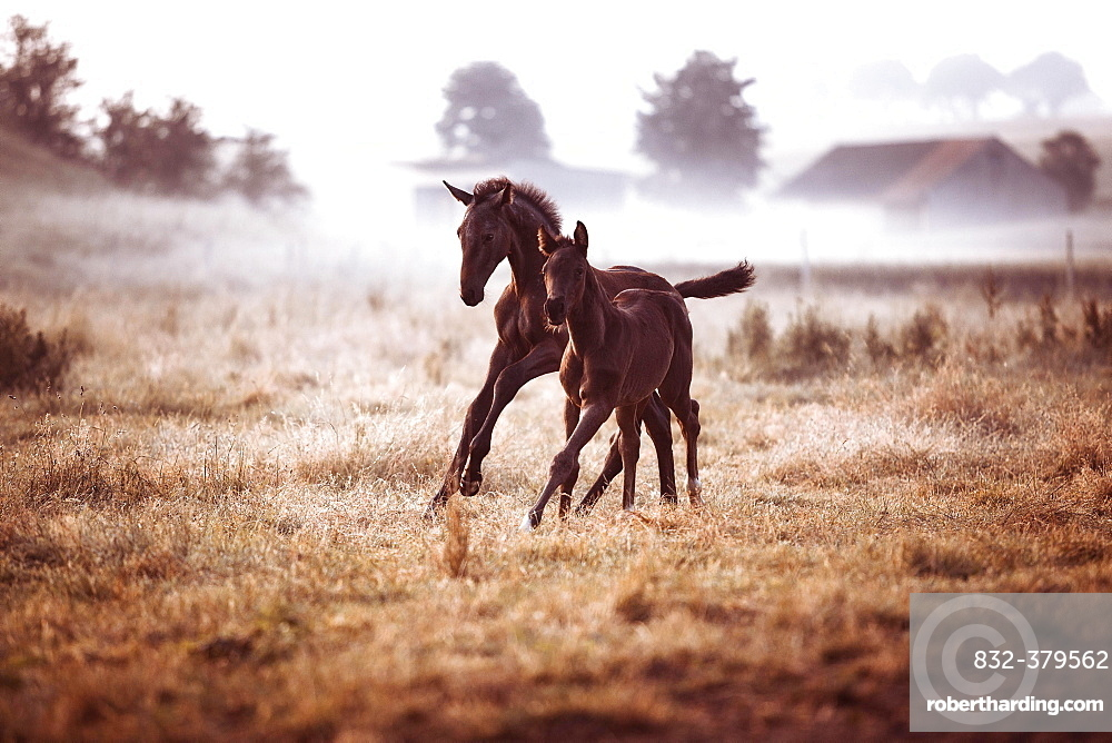 Two small brown foals gallop in the morning fog on the pasture, Germany, Europe
