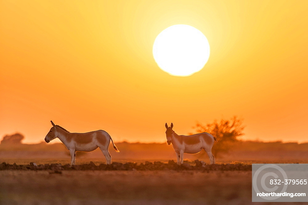 Onager or Asiatic wild ass (Equus hemionus), endangered species, in the evening sun, Little Rann of Kutch, Gujarat, India, Asia
